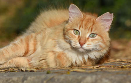 Yellow cat looking with green eyes