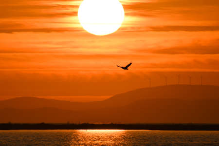 Pelican flying on the sea at sunset, silhouette