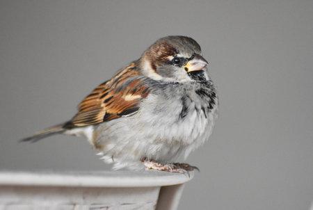 Sparrow standing on a chair Standard-Bild