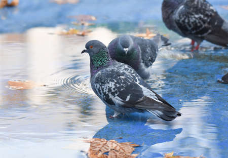 Pigeon standing in a blue pond