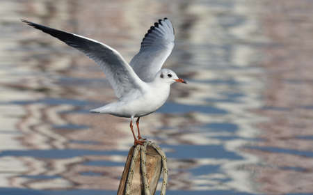 Seagull with open wings standing on wood Standard-Bild