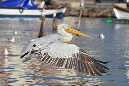 Pelican flying on the sea