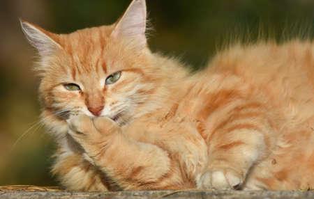 Yellow cat licking her foot Standard-Bild