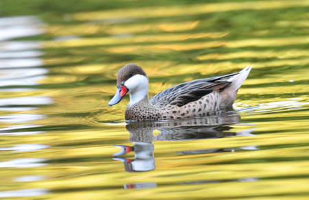 Duck swimming on a lake