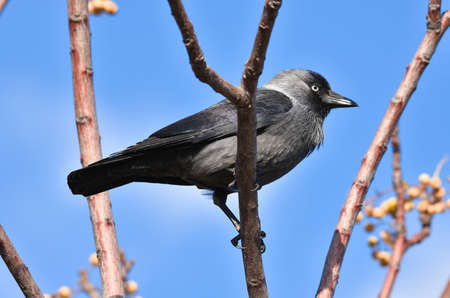Black crow standing on a branch