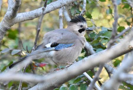 Jaybird standing on a branch Standard-Bild