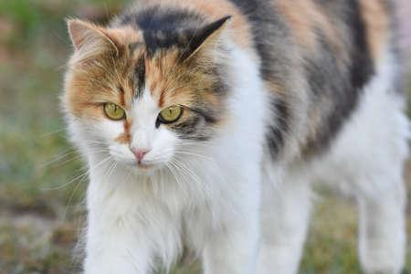 Cat walking and looking at camera Standard-Bild