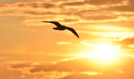 Seagull flying at sunset sky