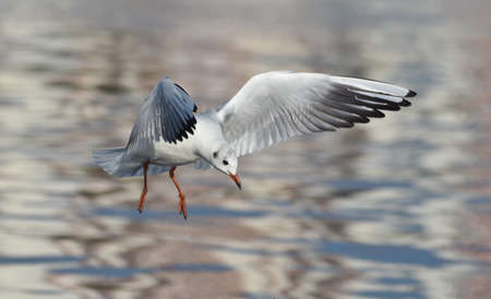 Seagull flying with open wings, closeup