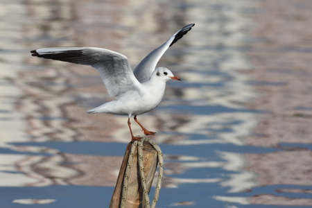 Seagull standing on wood with open wings, closeup