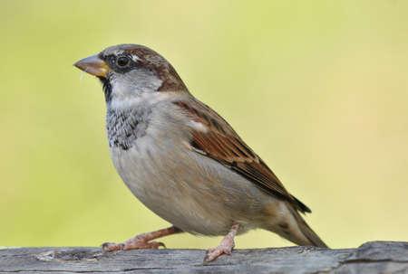 House sparrow standing on wood Standard-Bild