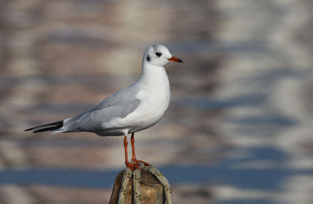 Seagull standing on wood, closeup
