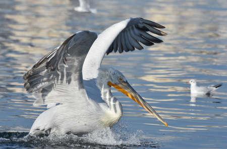 Pelican flying with open wings Standard-Bild