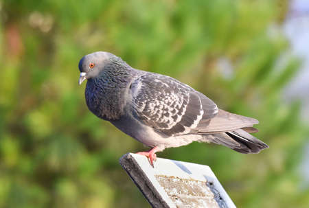 Pigeon standing on a wood