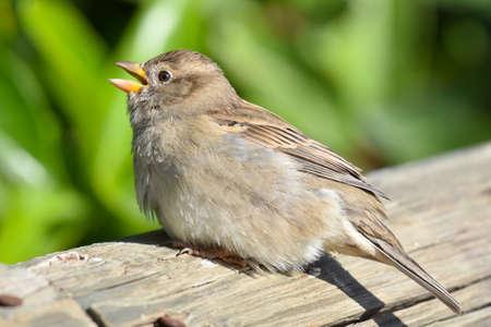 Baby sparrow standing on wood Standard-Bild