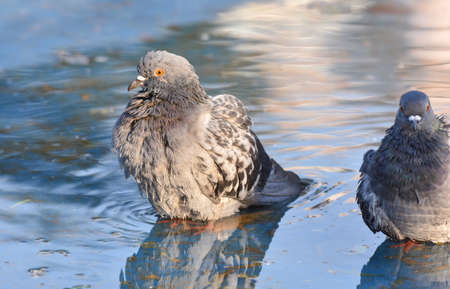 Pigeon standing on a pond