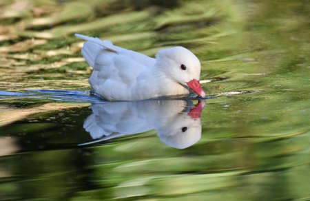 White caroline duck with reflection swimming on a green pond Standard-Bild