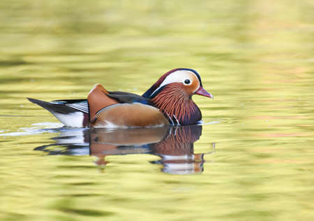 Mandarin duck swimming on a grren pond