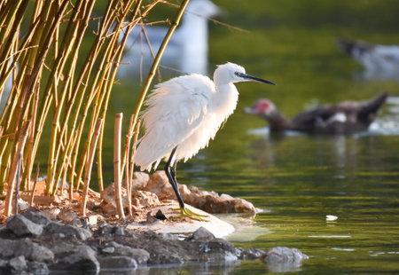 Little egret standing near a green pond