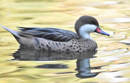 Duck swimming on a grren pond
