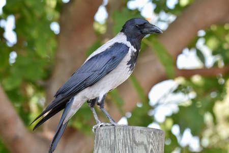 Crow blackbird standing on a wood