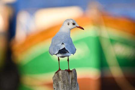 Seagull standing on a wood Standard-Bild