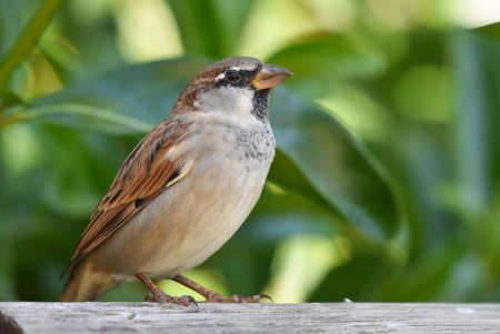 Sparrow standing on a wood