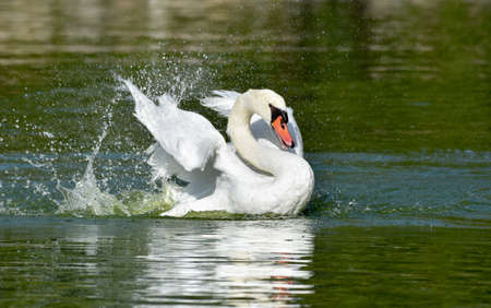 White swan swimming on green pond Standard-Bild