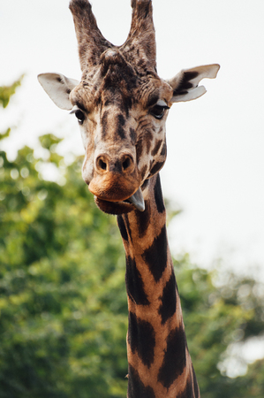 A giraffe with its tongue out.