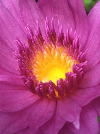 up: Close up of pink lotus pollen