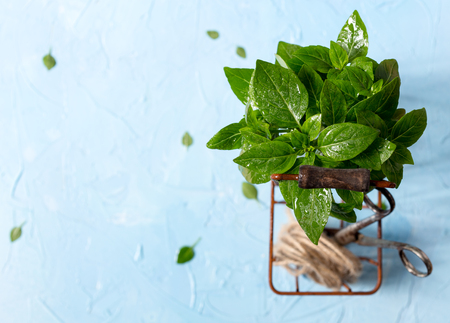 Some fresh basil in a metal basket Stock Photo