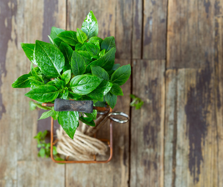 Fresh basil leaves in a metal basket over wooden background Stock Photo