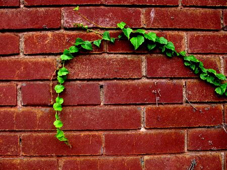 Green strand of ivy against a red brick wall Imagens