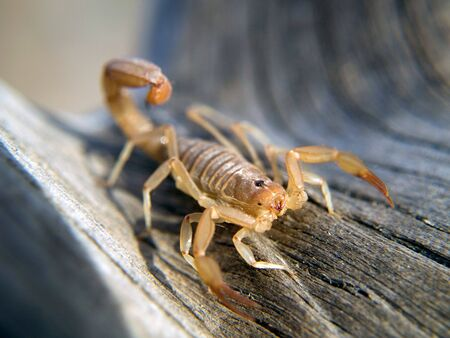 Young scorpion on a log with claws and stinger raised