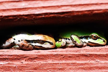 Close-up of two frogs resting toe-to-tail in a stucco railing