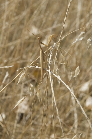 Female praying mantis perfectly camouflaged in the grass yellow