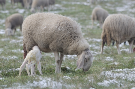 Newborn lamb drinking milk from sheep among the snowfields in the cold winter photo