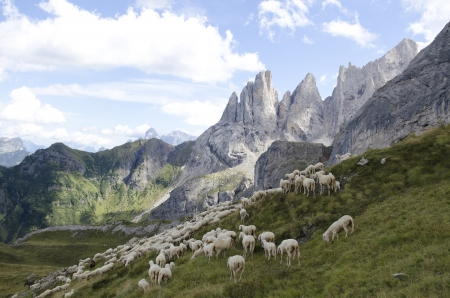 Flock of sheep graze and browse grass on the mountains of the Dolomites photo