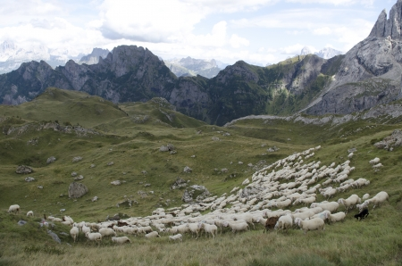 Flock of sheep graze and browse grass on the mountains of the Dolomites