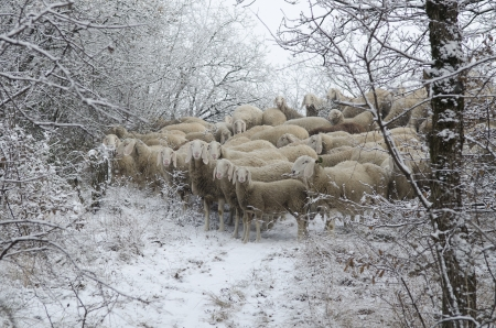 Flock of sheep grazing in the snow in the cold winter photo