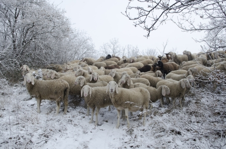 Flock of sheep grazing in the snow in the cold winter