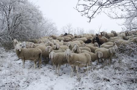 pastor de ovejas: Reba�o de ovejas pastando en la nieve en el invierno fr�o