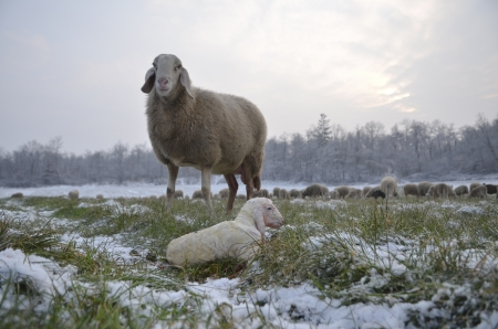 Sheep looks at his newborn lamb while grazing in the snow Stock Photo