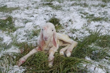 Sheep  Lamb newborn among the snowfields in the cold winter Stock Photo