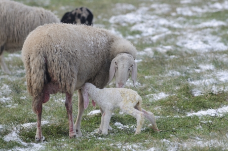 Newborn lamb drinking milk from sheep among the snowfields in the cold winter