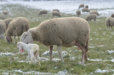 Sheep cuddle her new born lamb in the snow fields in the cold winter