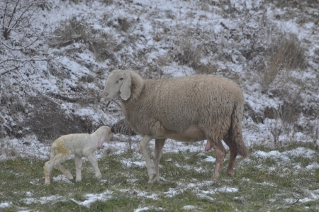 Sheep plays with her newborn lamb among the snowfields in the cold winter