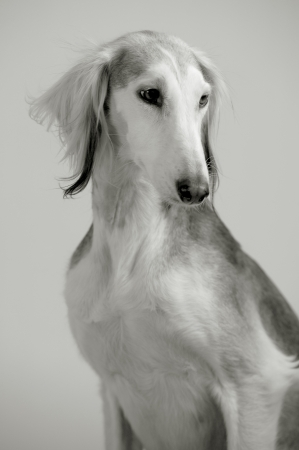Elegant dog Persian greyhound breed saluki posing