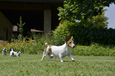medium size: Dog breed Jack Russell Terrier running in the lawn Stock Photo