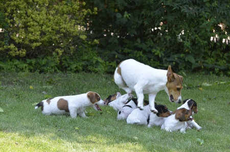 medium size: Mom and puppies breed Jack Russell Terrier playing happily in the meadow